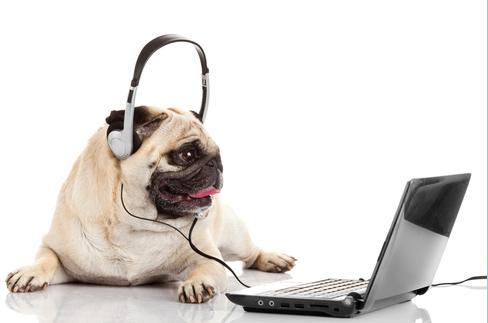 pug on laptop